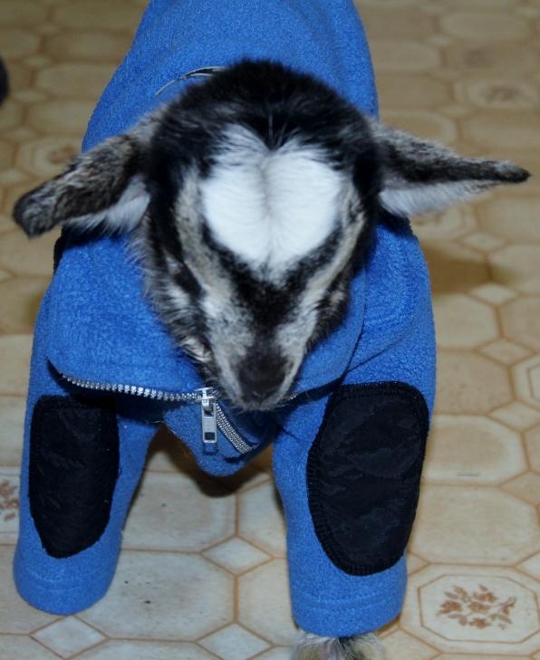 babygoatsweater