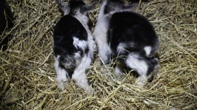 goats 064